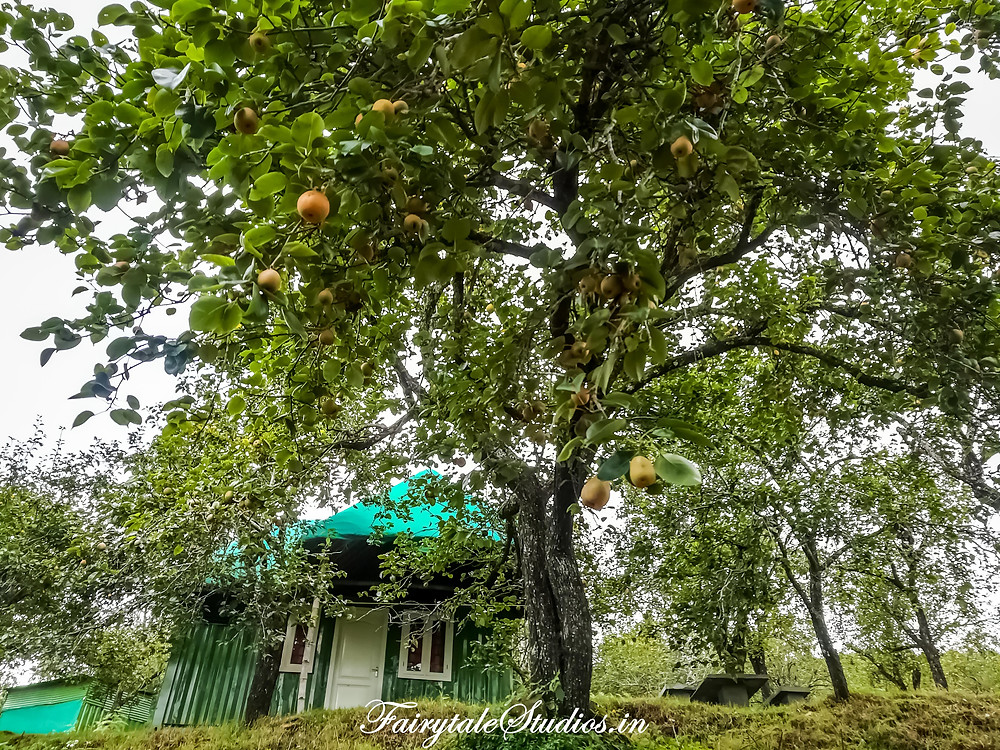 A typical Pear tree right in front of a cabin @ The Pear County, Kodaikanal