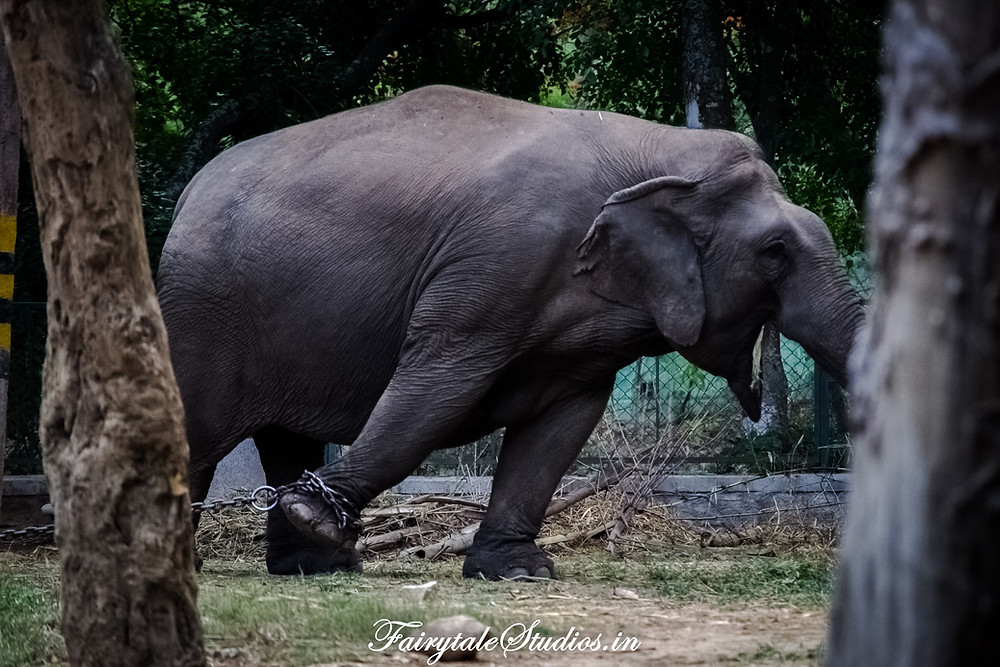 Elephant held by an iron chain at Dubare elephant camp in Coorg, India