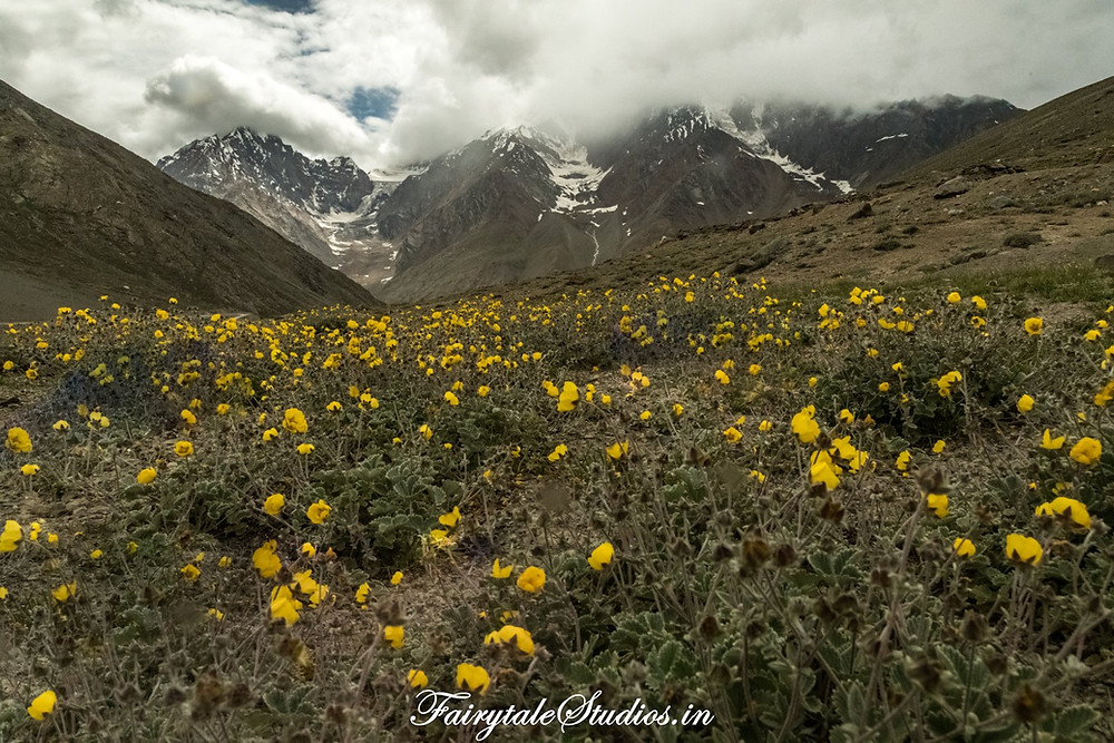Bara Shigri glacier with yellow flowers in the foreground as seen from the Kunzum Pass, Spiti Valley