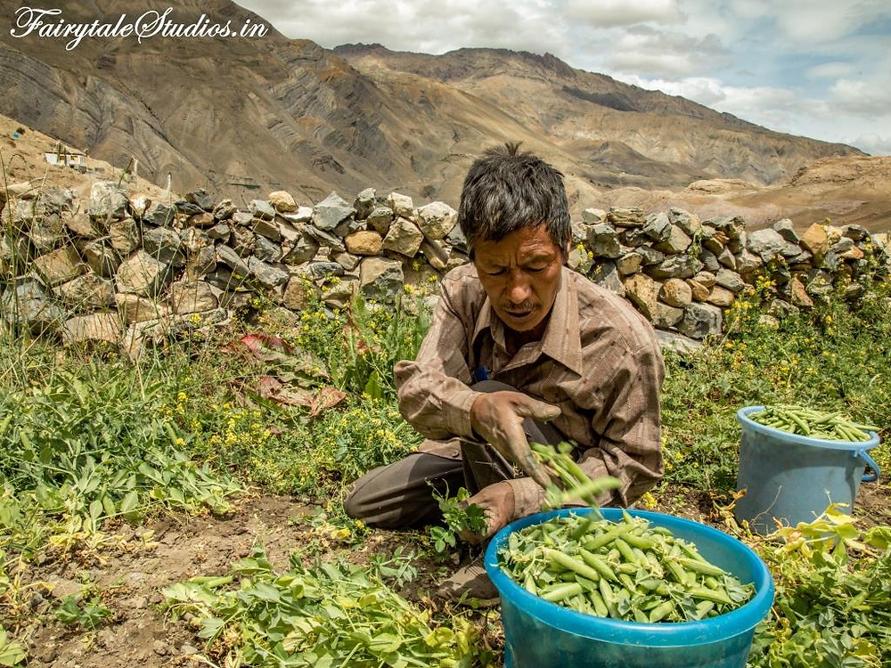 A local harvesting green peas from a pea-field in Spiti Valley, India_Introduction to Spiti Valley