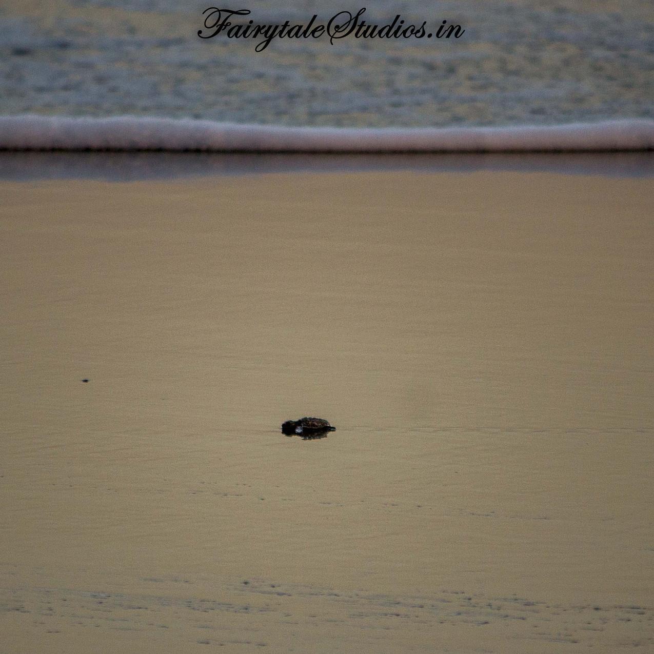Turtle Festival_Velas_10