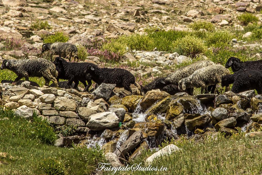 Flock of Sheep seen on our way towards Rangdum (The Zanskar Odyssey Travelogue)