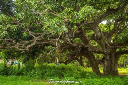 Rukhda Tree_Diu_Fairytale Travels (59)
