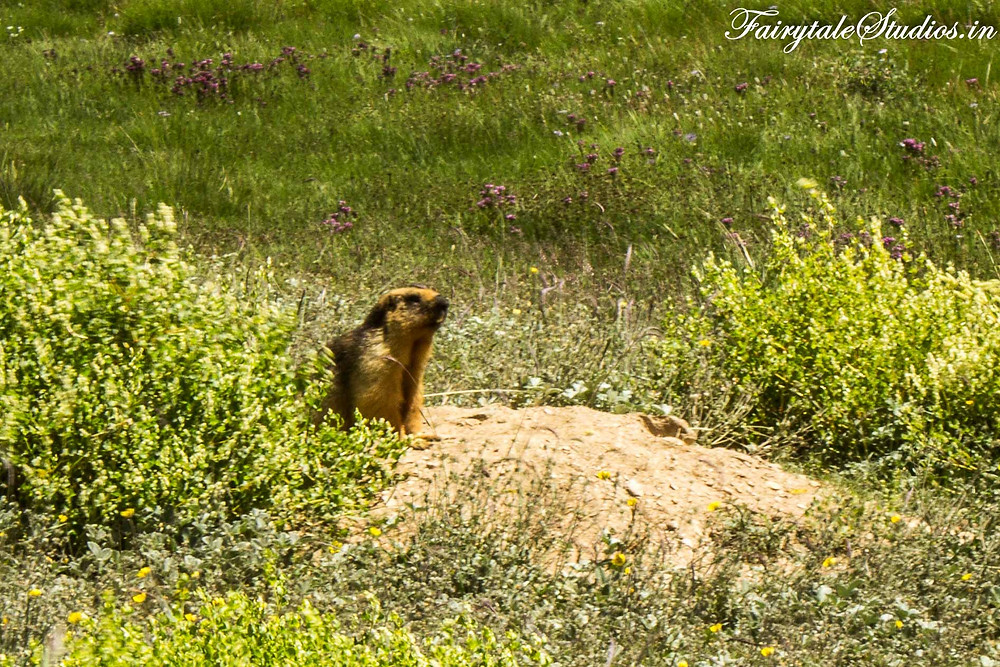 Marmuts are easy to spot but difficult to capture as they run into their underground holes (The Zanskar Odyssey Travelogue)