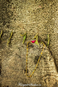 Rukhda Tree_Diu_Fairytale Travels (60)