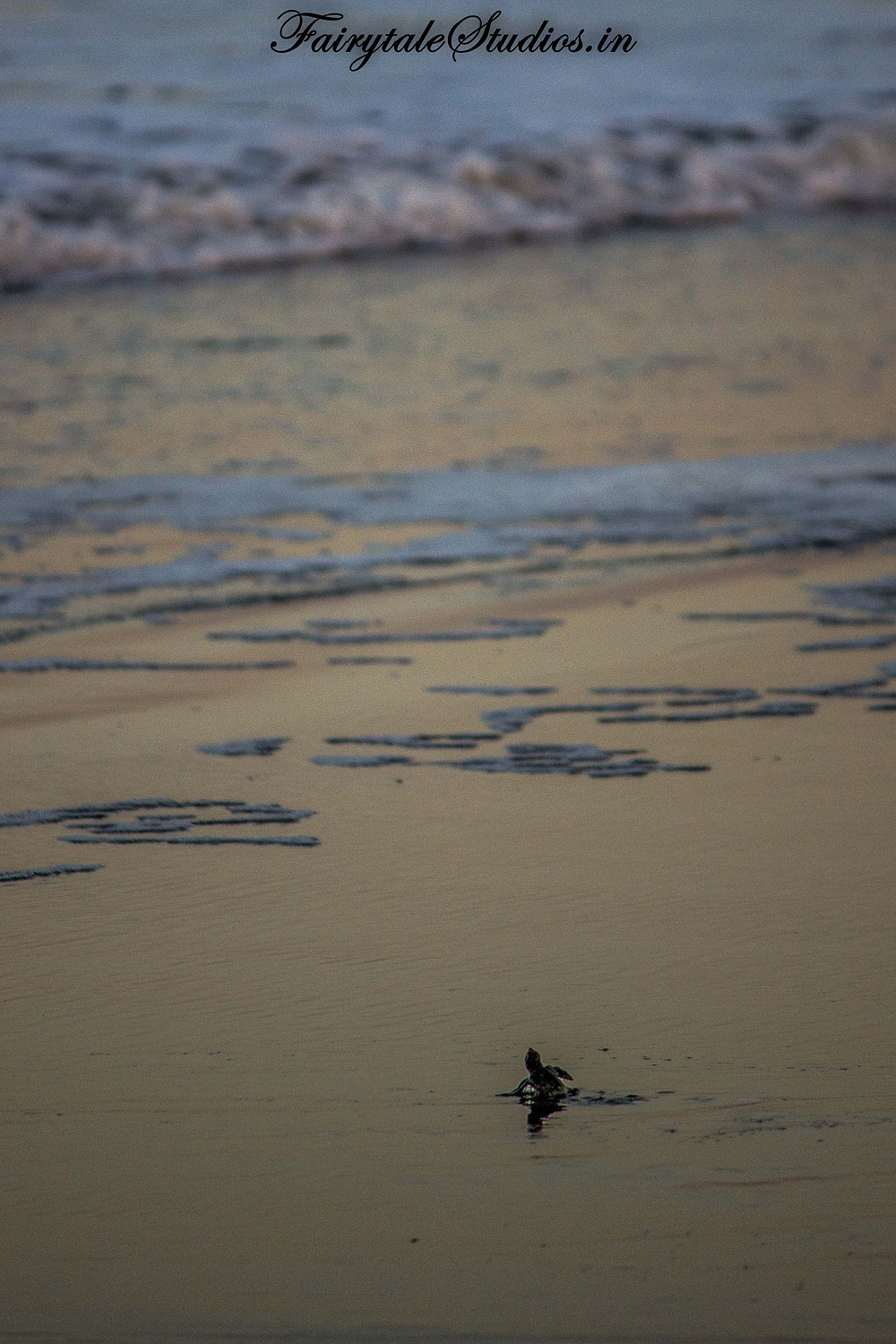 The baby olive ridley turtle awaits waves to take it into ocean during turtle festival, velas, India