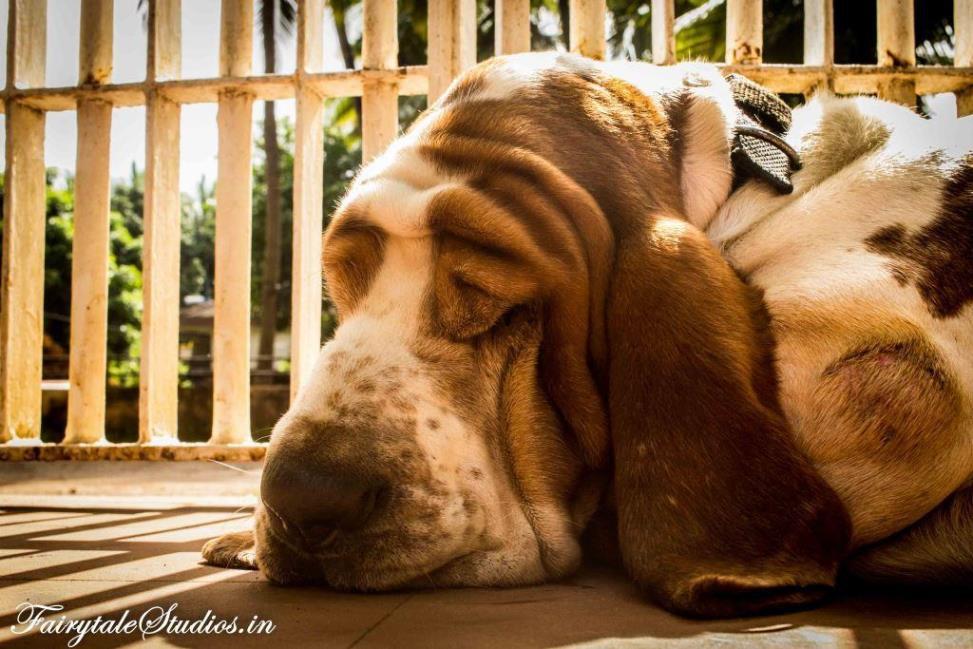 Basset hounds at Vivenda Dos Palhacos