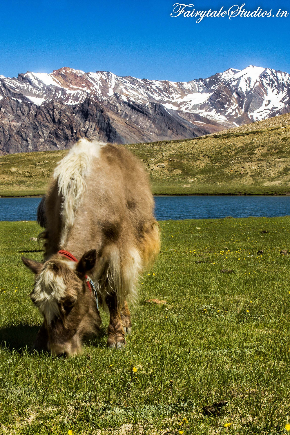 A cow grazing near one of the lakes at Penzila pass (The Zanskar Odyssey Travelogue)