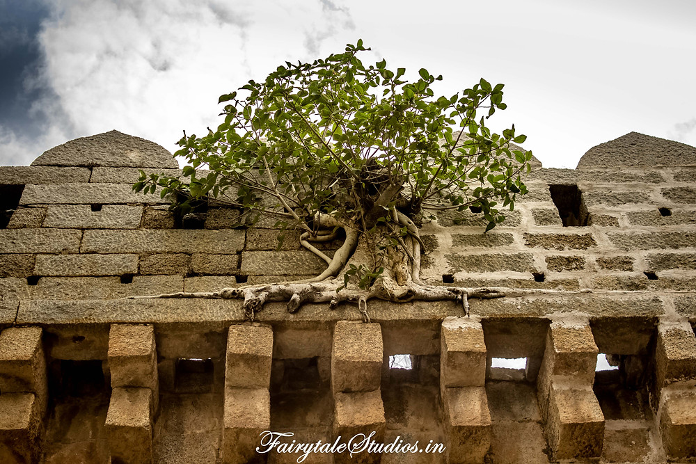 Plants somehow manage to grow on almost anything, even rocky structures of Bhongir fort