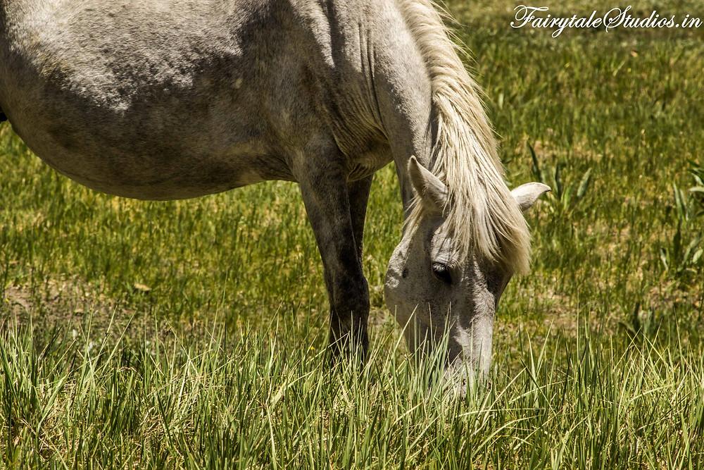 A beautiful horse grazing besides Suru river on the way to Rangdum (The Zanskar Odyssey Travelogue)