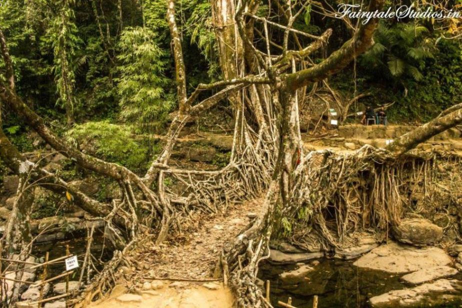 Living root bridge at Riwai village near Mawlynnong