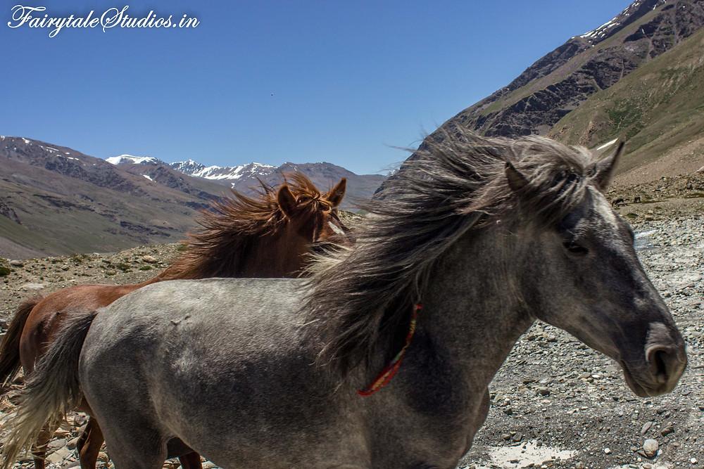 Horses in the vast plains near Padum (The Zanskar Odyssey Travelogue)