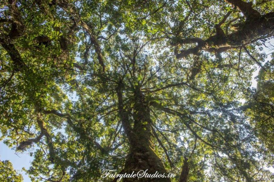 Sacred Grove forest_Mawphlang travel guide_The Meghalaya Odyssey_Fairytale Travels (3)
