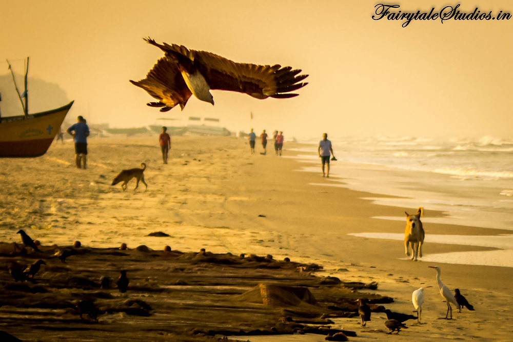 An eagle swooping in to catch fish at Benaulim beach, Goa