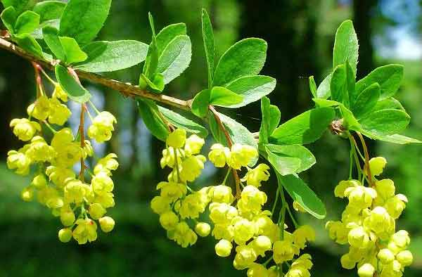 Barberry - Berberis vulgaris 29