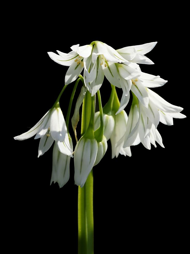 Three-Cornered_Leek_- Allium_triquetrum_4