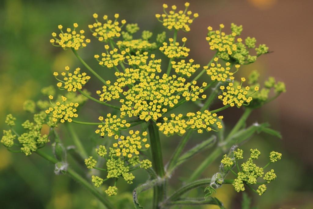 Wild parsnip - Pastinaca sativa 27