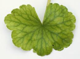 Floating Pennywort - Hydrocotyle ranunculoides leaf