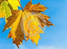 Sycamore - Acer pseudoplatanus 2