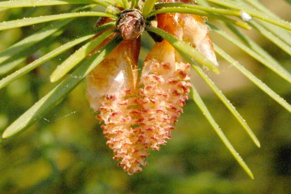 Douglas fir - Pseudotsuga menziesii 30