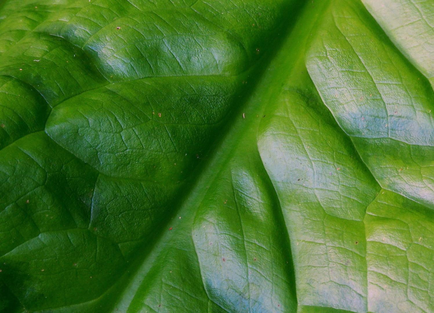 American skunk cabbage - Lysichiton americanus - leaf underside