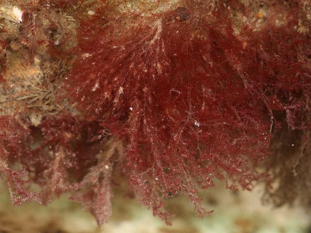 Antithamnionella ternifolia 15