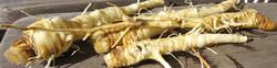 Wild parsnip - Pastinaca sativa 19