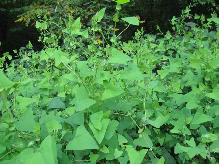 Mile-a-Minute_Weed_-Persicaria_perfoliata_11