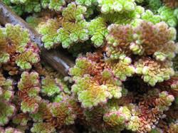Water fern - Azolla filiculoides 24