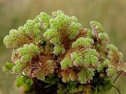 Water fern - Azolla filiculoides 26