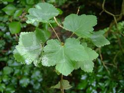 Black currant - Ribes nigrum 15