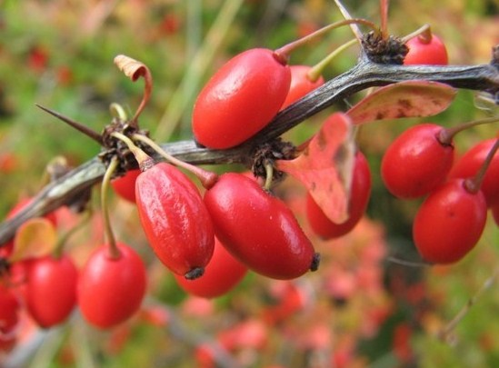 Barberry - Berberis vulgaris 15