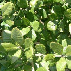 Holm oak - Quercus ilex 3