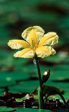 Fringed Water-lily Flower