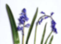 Spanish Bluebell - Hyacinthoides hispanica & Common Bluebell Comparison