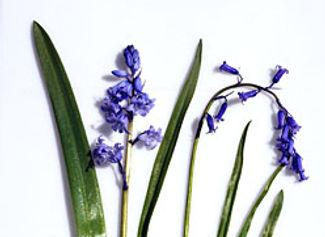 Spanish Bluebell - Hyacinthoides hispanica & Common Bluebell Comparison