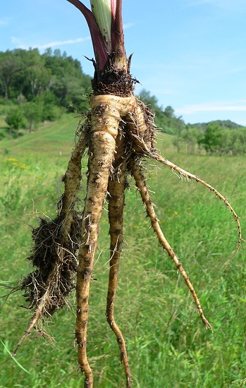 Wild parsnip - Pastinaca sativa 21