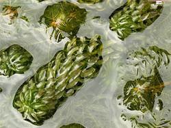 Curly Waterweed - Lagarosiphon major 9