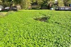 Floating_Pennywort_-Hydrocotyle_ranunculoides_2