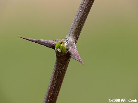 False acacia - Robinia pseudoacacia 51