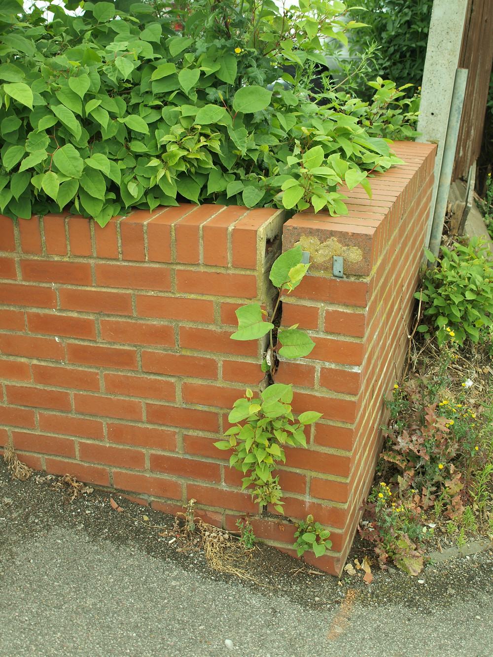 Knotweed Breaking Through Brick Wall