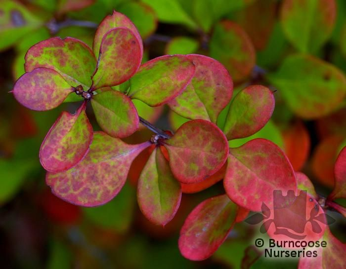 Japanese barberry - Berberis thunbergii 5