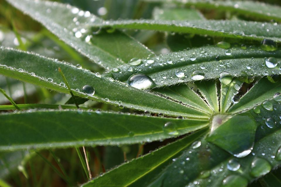 Garden lupin - Lupinus polyphyllus 45