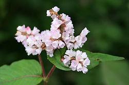 Lesser Knotweed Flower
