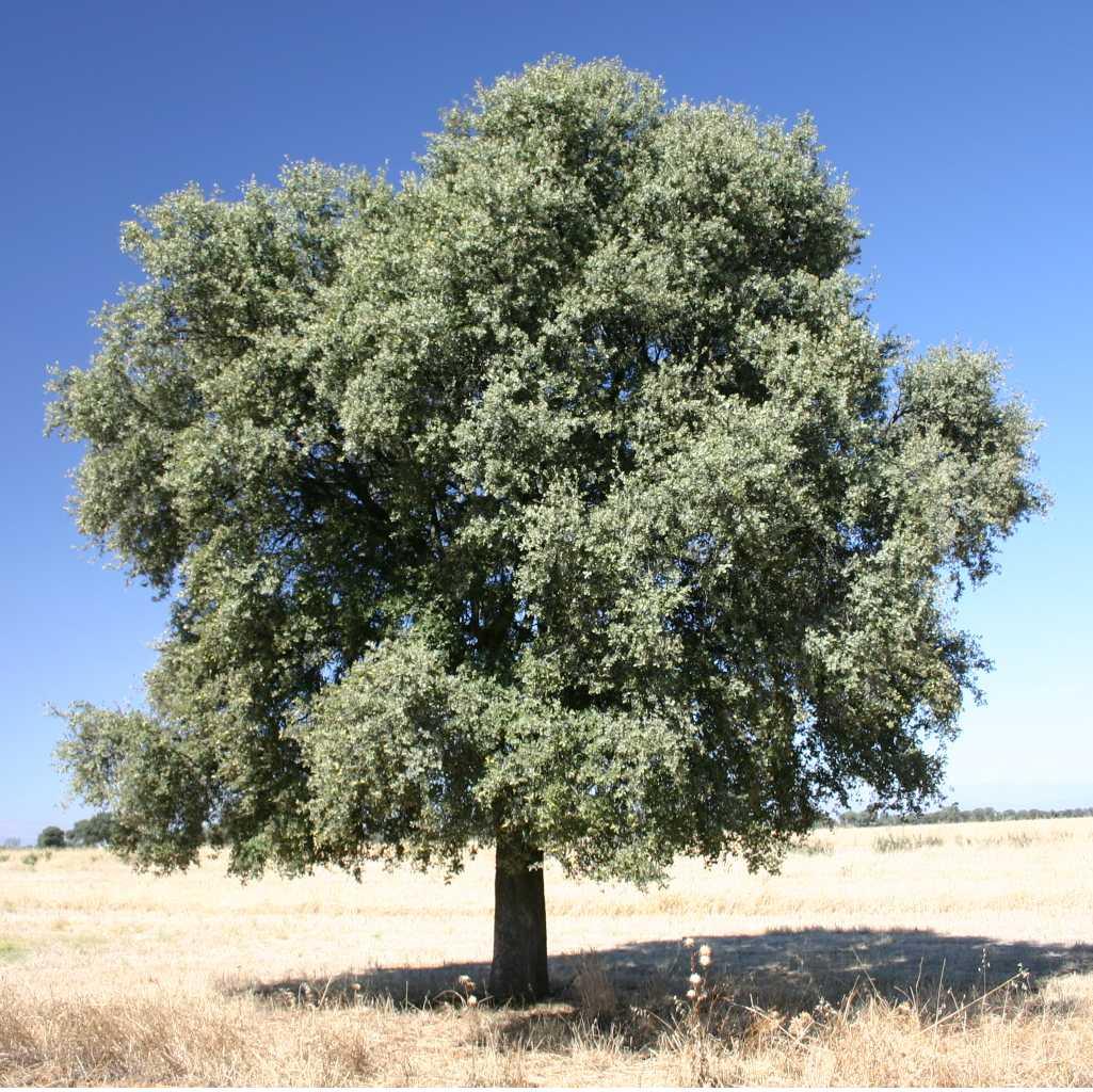 Holm oak - Quercus ilex 16