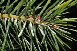 Douglas fir - Pseudotsuga menziesii 24
