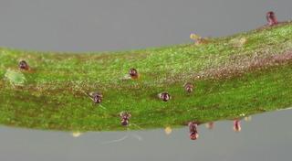 Warty cabbage - Bunias orientalis 24