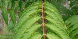 Tree of heaven - Ailanthus altissima 19