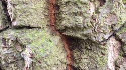 Turkey oak - Quercus cerris 10