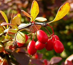 Japanese barberry - Berberis thunbergii 10